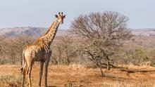 """У ПАР подружжя вбило жирафа: зробили з серця """"валентинку"""" – шокуючі фото 18+"""