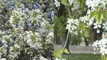 У Чернігові цвіте найстаріша в Україні вишня-антипка: їй понад 100 років