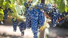 Виноделие: как правильно подготовить виноград