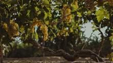 """Уникальный """"Лисий хвост"""": в SHABO рассказали о гордости украинских виноделов"""