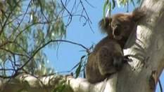 Новий Південний Уельс – штат лінивих коал та стрибучих кенгуру