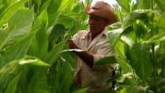 Кубинська Робайна – одна з найвідоміших тютюнових плантацій усього світу