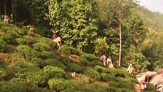 Дарджилінг - головне індійське місто чайних плантацій
