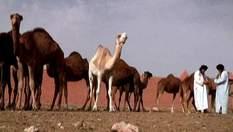 Марокканский Гулимим: земля одногорбых верблюдов (Видео)