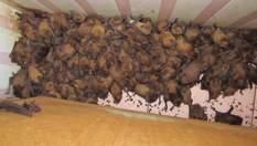 На балконі львівської родини оселилися 1700 червонокнижних кажанів