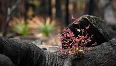 Ліси відновлюються після пожежі в Австралії: чарівні фото