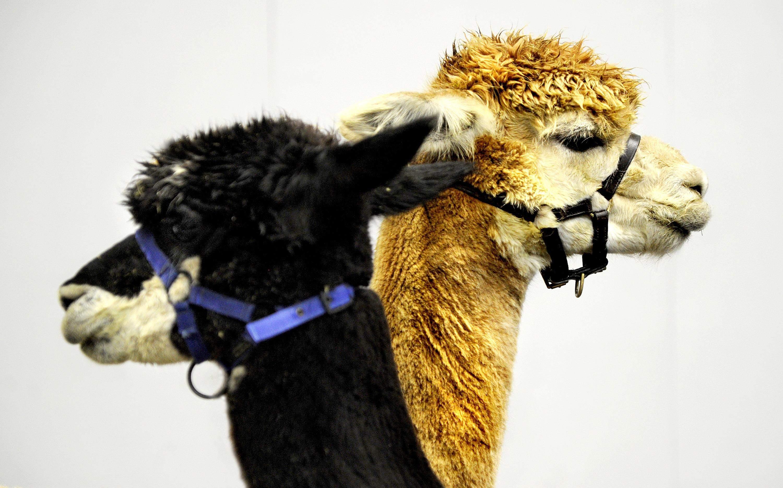 В альпаки знайшли антитіла проти коронавірусів у людей