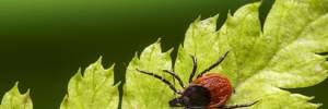Как уберечься от клещей и не подцепить инфекцию: важные советы