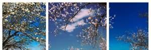 Неймовірної краси фото: у Черкасах зацвіли дерева на набережній