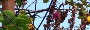 У Миколаєві посеред осені зацвів бузок – втретє за рік