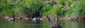 В Україні встановлюють фотопастки у гніздах рідкісних чорних лелек: репортаж
