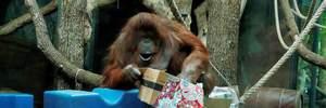 Самая старая самка орангутанга отпраздновала день рождения: трогательное видео