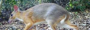 Крохотных мышей-оленей нашли в джунглях Вьетнама: сказочные фото