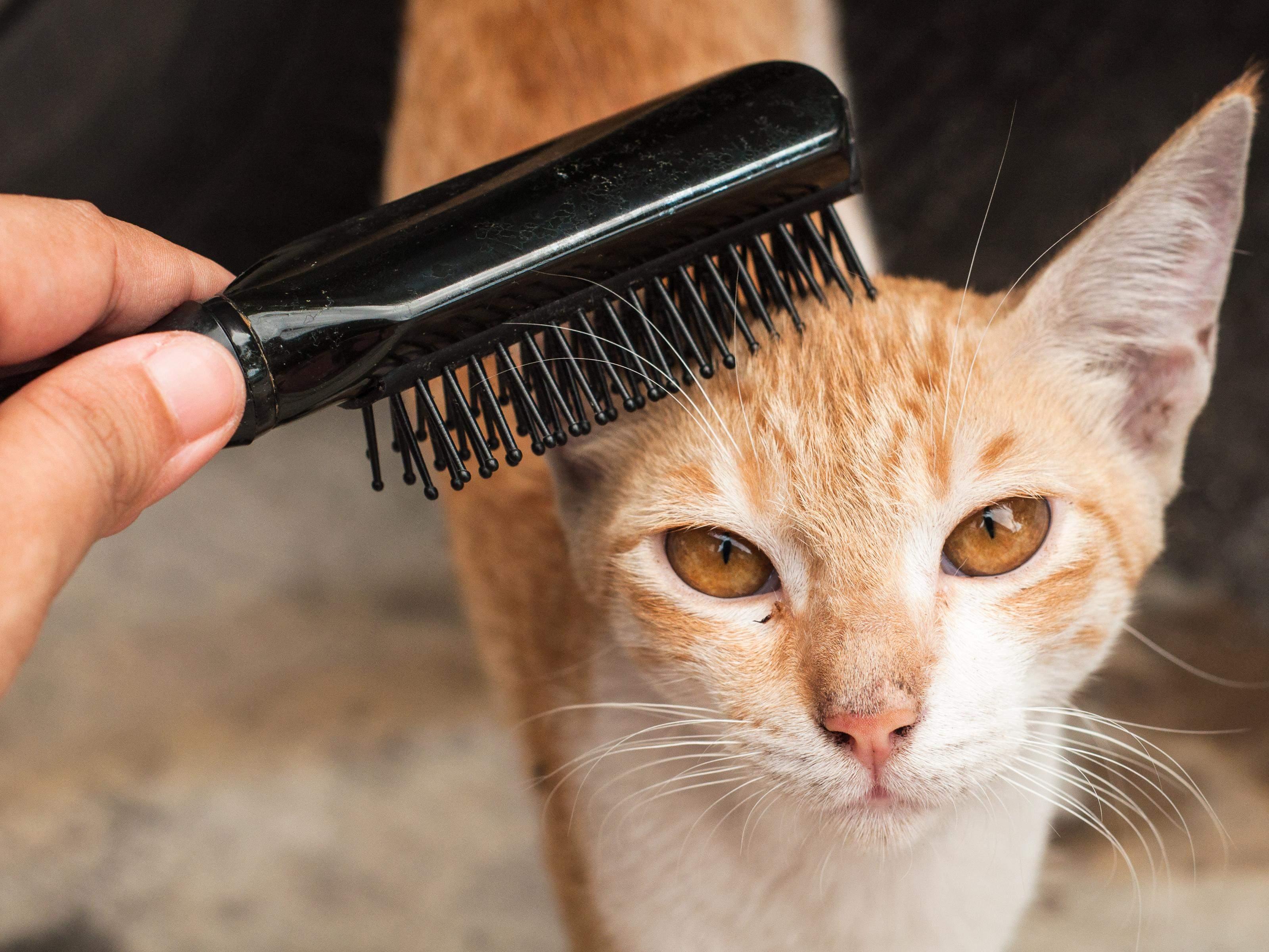 Расчесывание поможет научить кошку вам доверять