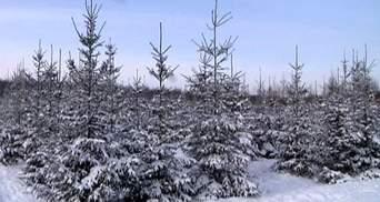 Волинські лісівники готують ялинки до новорічного сезону