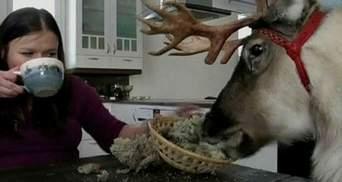 В Финляндии живет домашний олень