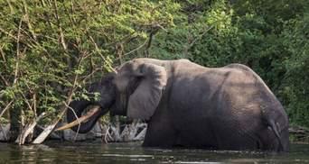 Власти Зимбабве планирует начать распродажу слонов