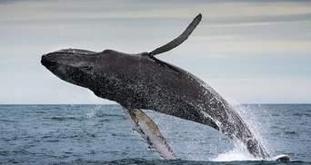 Аквалангіст зафільмував видовищний стрибок 40-тонного кита: відео