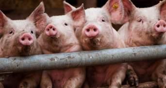 На Київщині виявили спалах африканської чуми свиней