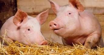 На Львівщині зафіксували спалах африканської чуми свиней