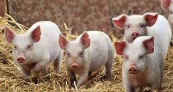Африканская чума свиней в Украине распространилась еще на 4 области
