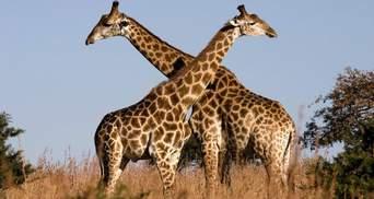 Жирафа мужньо вистояла в боротьбі проти крокодила: неймовірне відео
