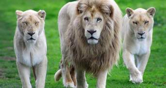 В африканському заповіднику леви загризли двох браконьєрів: подробиці