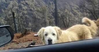 В Калифорнии собака почти месяц ждала хозяев возле сгоревшего дома