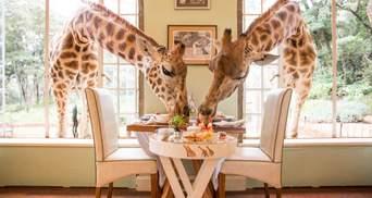 В одном из отелей Восточной Африки гости могут позавтракать вместе с жирафами: невероятные фото