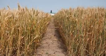 """""""Укрлендфармінг"""" зібрав втричі кращий за якістю врожай озимої пшениці, ніж минулого року"""