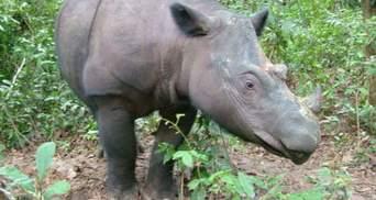 В Малайзии умер последний суматранский носорог от рака