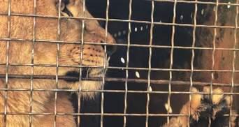 Леви з бердянського зоопарку відправилися на волю: зворушливі фото