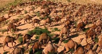 В Австралії тисячам верблюдів загрожує відстріл через посуху: як їх можуть врятувати