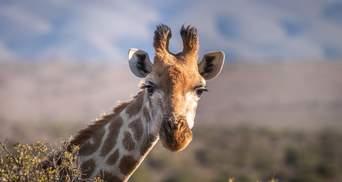 Хоробрий жираф відбився від зграї левиць: захопливе відео