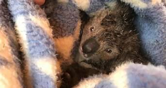 После вырубки леса в Австралии нашли десятки мертвых коал