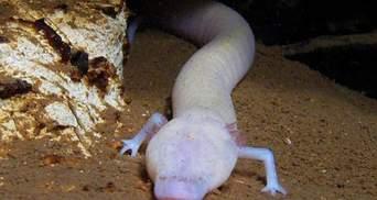 Живуть, не роблячи нічого: печерна саламандра за 7 років не поворухнулася жодного разу