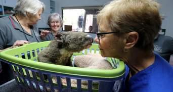 Врятована від вогню в Австралії коала повернулася додому: зворушливе відео