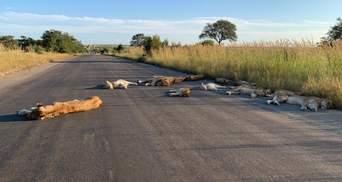 Леви повною мірою використали карантин у ПАР: тварини посеред дня заснули на дорозі – фото