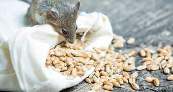Из Госрезерва пропало зерно на 800 миллионов гривен: сколько для этого надо мышей