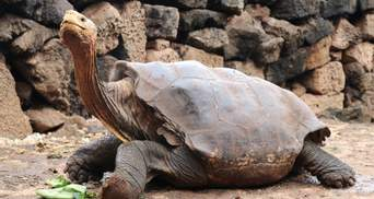 """Спас свой вид: """"черепаха-плейбой"""" Диего вернулся в дикую природу – фото"""