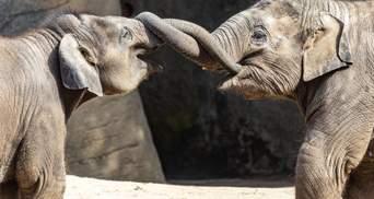 У Польщі слонам дадуть медичну марихуану