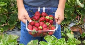 Збирати ягоди у Фінляндії українці більше не зможуть: відома причина