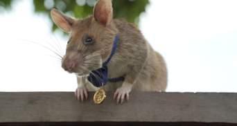 Щур-розвідник: у Камбоджі нагородили пацюка за порятунок людських життів – фото і відео