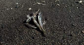 На пляжи Камчатки выбросило тысячи мертвых животных: жуткое видео