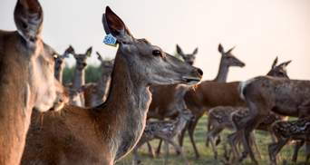 Перша оленяча ферма та музей ретротранспорту: чим здивує туристична Волинь