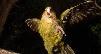 Птицей года в Новой Зеландии стал какапо: летать не умеет, но очень хорошо притворяется кустом