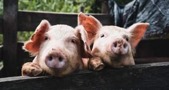 Пьяный водитель на Полтавщине хотел откупиться свиньей от полиции: детали