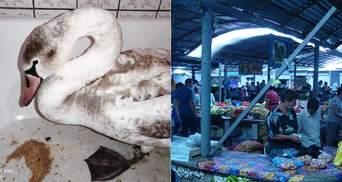 Обессиленный лебедь упал на прилавок с мандаринами: ему помогают волонтеры