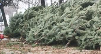 200 тысяч деревьев к зимним праздникам: какие цены на елки в регионах Украины