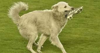 Футбольная Санта-Барбара: собака с бутсой в зубах выбежала на поле и нашла хозяина – видео
